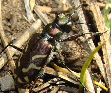picture of an oblique-lined tiger beetle (Cicindela tranquebarica)
