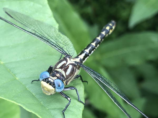 picture of an Olive Clubtail dragonfly