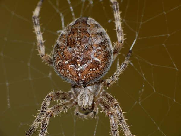 picture of an Araneus Gemma