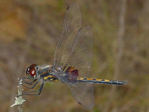 picture of an Ornate Pennant dragonfly, Credit Pondhawk, Flickr
