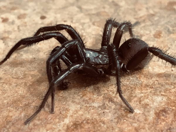 picture of a Pacific Foldingdoor Spider