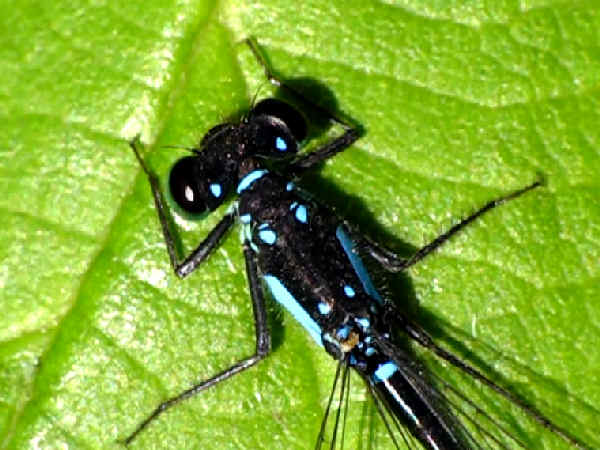 picture of a male pacific forktail damselfly