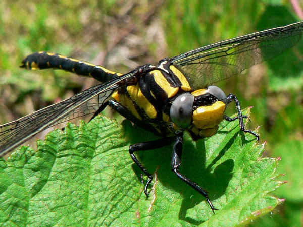 picture of a Pacific Spiketail Dragonfly, dragonflies are one of the polular types of insects covered
