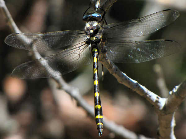 picture of a Pacific Spiketail (Cordulegaster dorsalis)