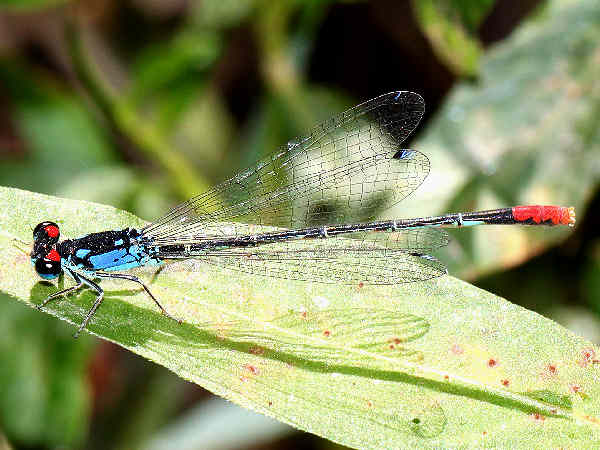 picture of a Painted Damselfly