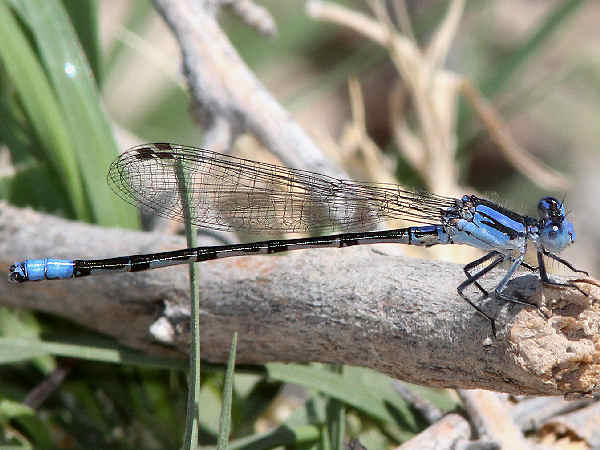 picture of a Paiute Dancer damselfly