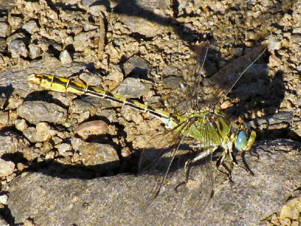 picture of a pale snaketail dragonfly
