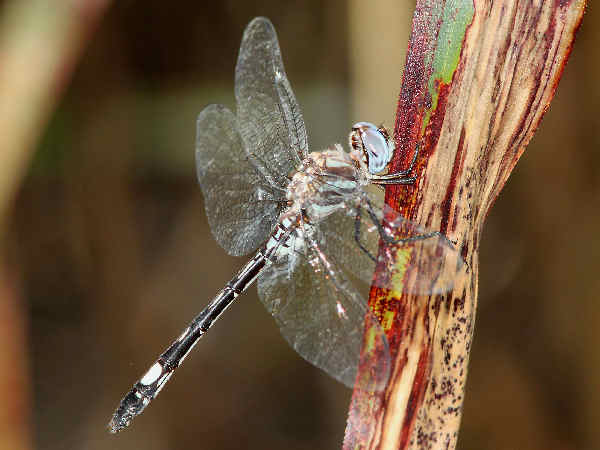 picture of a Pale-faced Clubskimmer dragonfly