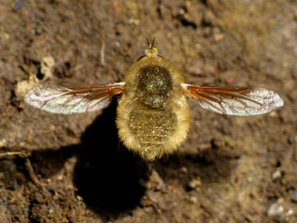 picture of a bee fly in the paravilla genus