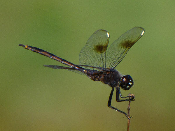 picture of a Pennant dragonfly