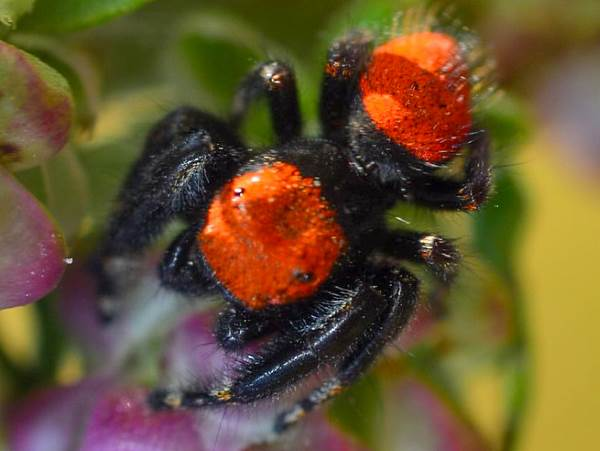 picture of an Apache Jumping spider, Phidippus apacheanus, New Mexico spiders