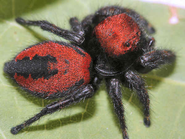 picture of an Apache Jumping spider