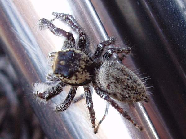 picture of a  Jumping spider Phidippus asotus
