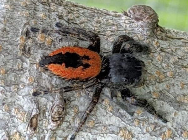picture of a Phidippus johnsoni, New Mexico spiders