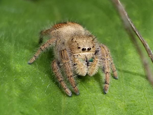 picture of a Jumping Spider, phidippus texanus