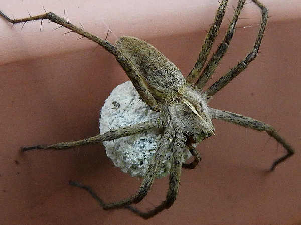 picture of a nursery web spider pisaura-mirabillis