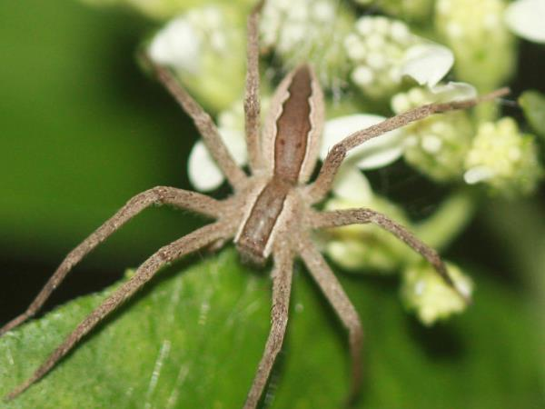 picture of a female Nursery Web Spider (Pisaurina mira)