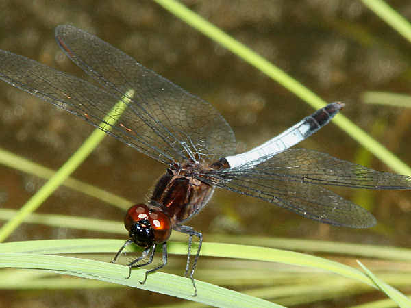 picture of a  dragonfly