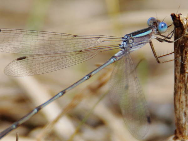 picture of a Plateau spreadwing damselfly