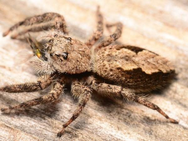 picture of a Tan Jumping Spider, Platycryptus undatus
