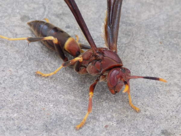 picture of a Polistes annularis
