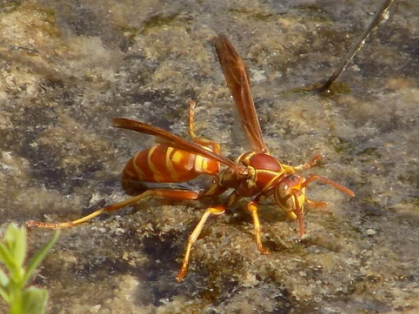 types of paper wasps in the Southeast United States