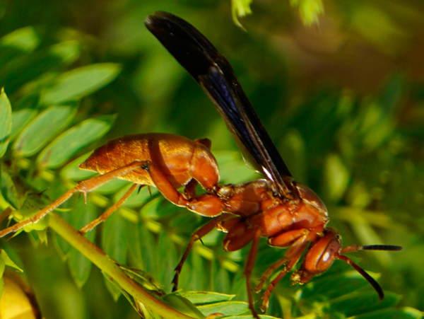 picture of a Paper Wasp, Polistes carolina, North Carolina wasps