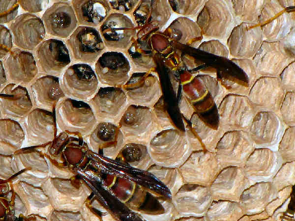 picture of paper wasp, polistes dorsalis