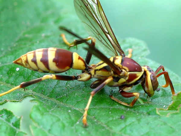 picture of a paper wasp, polistes exclamens