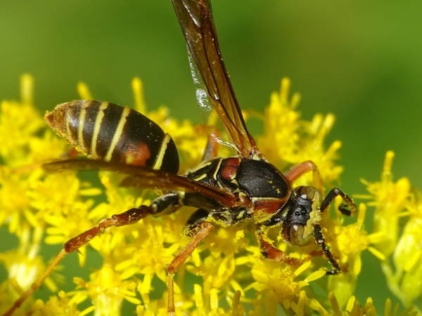 picture of a Northern Paper Wasp