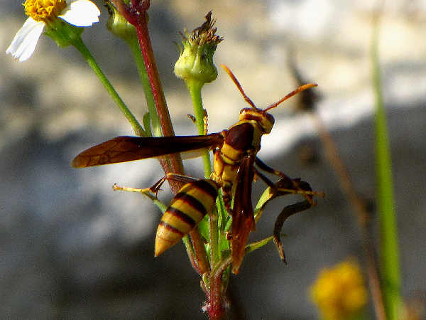 picture of a flower polistes major