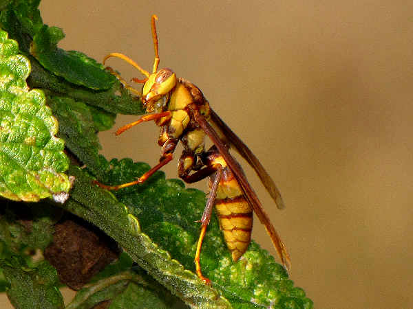 picture of a male Paper Wasp