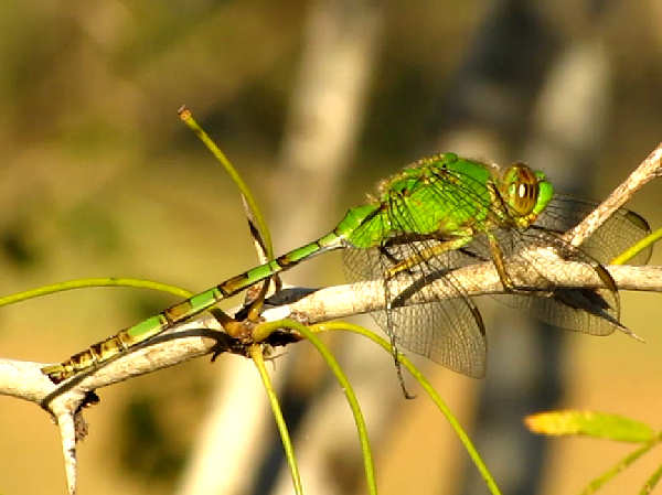 picture of a pondhawk dragonfly