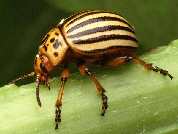 picture of a potato beetle