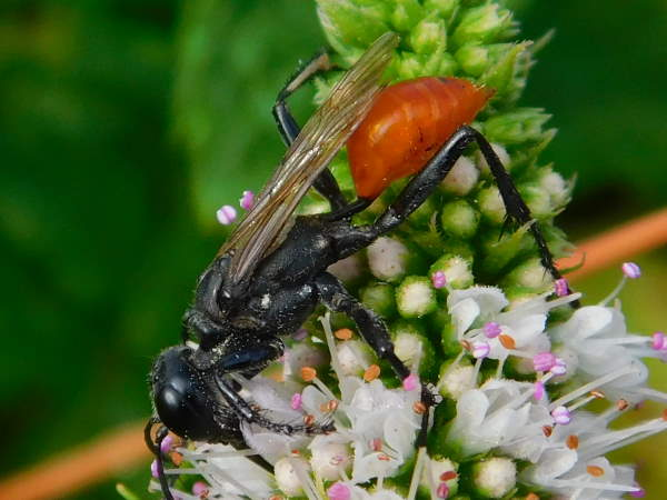 picture of thread-waisted wasp, Prionyx foxi