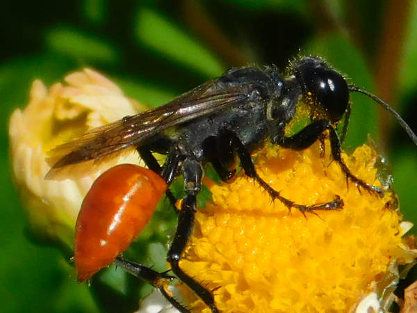 picture of a thread-waisted wasp in the genus Prionyx