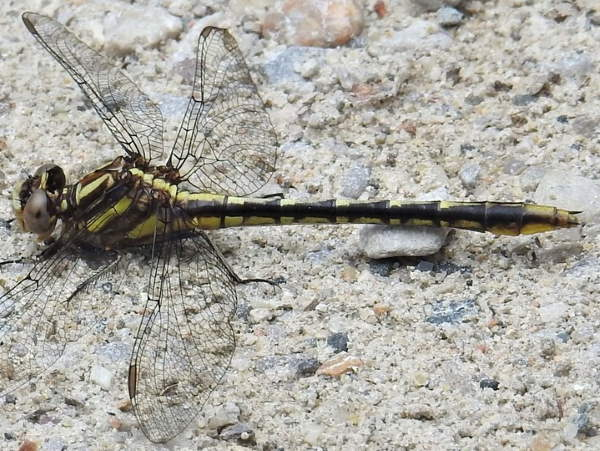 picture of a Pronghorn Clubtail dragonfly