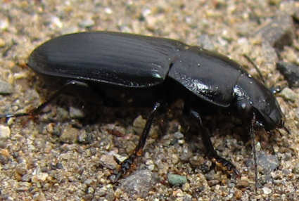 picture of a ground beetle, pterostichus