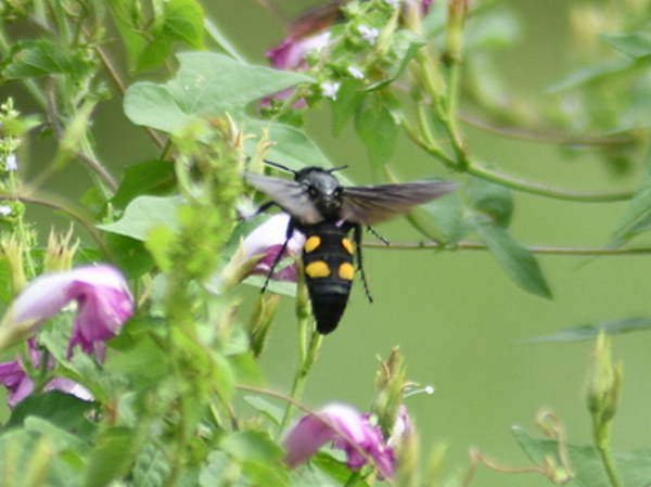 picture of a Four-spotted Scoliid Wasps