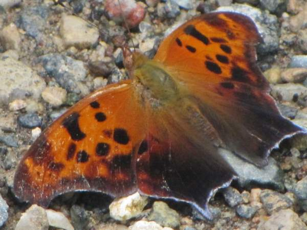 picture of a top view of a Question Mark butterfly