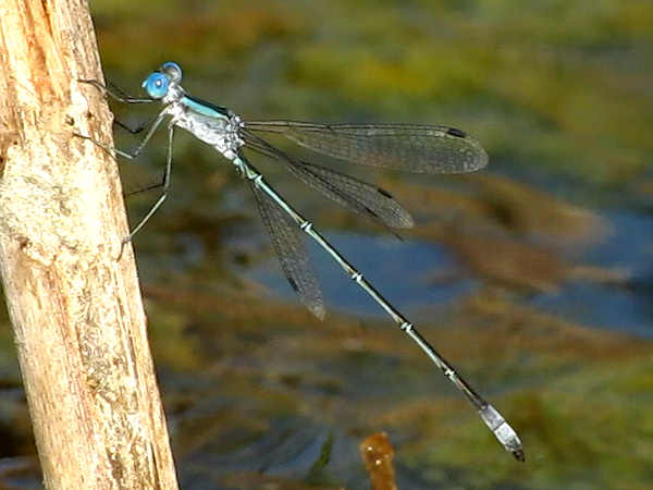 picture of a Rainpool Spreadwing, damselfly identification