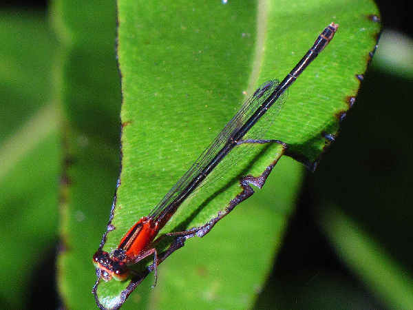 picture of an immature female Rambur's Forktail damselfly