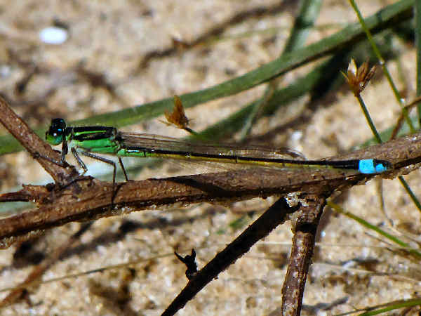 picture of a male Rambur's Forktail damselfly