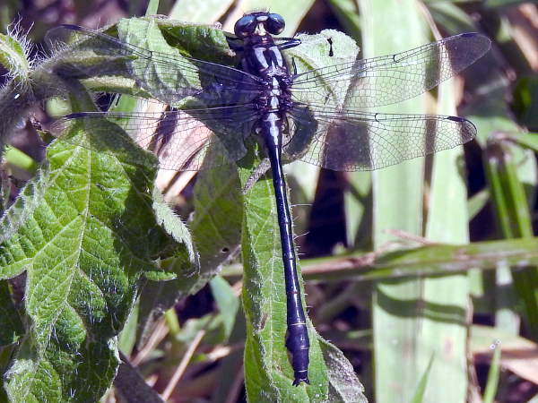 picture of a Rapids Clubtail dragonfly