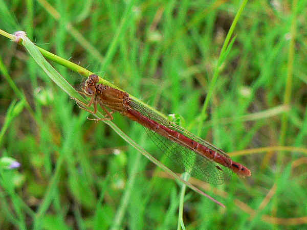 picture of a Western Red Damselfly, damselfly identification