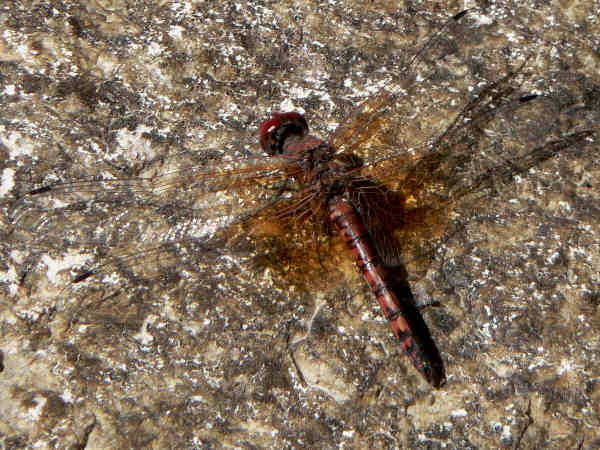 picture of a  male Red-Rock Skimmer dragonfly