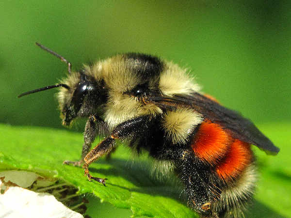 picture of a red-tailed bumblebee