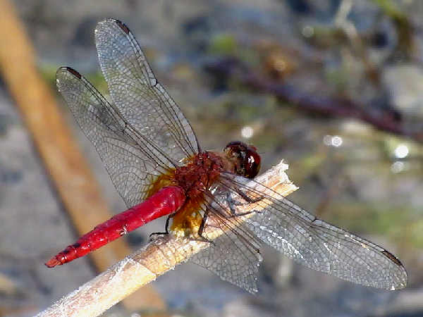 picture of a  Red-tailed Pennant dragonfly