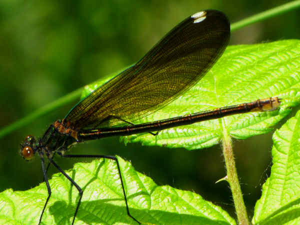 picture of a River Jewelwing (Calopteryx aequabilis)
