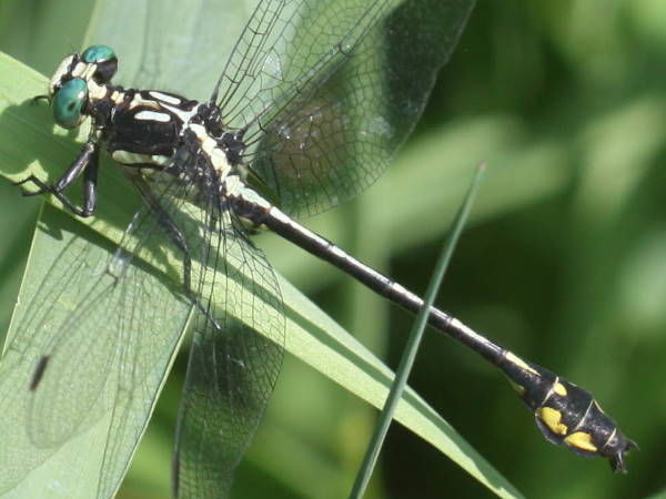 picture of a Riverine Clubtail dragonfly pictures